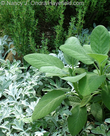Salvia officinalis 'Berggarten' with Artemisia stelleriana 'Silver Brocade'/'Boughton Silver' and Thymus vulgaris at Hayefield