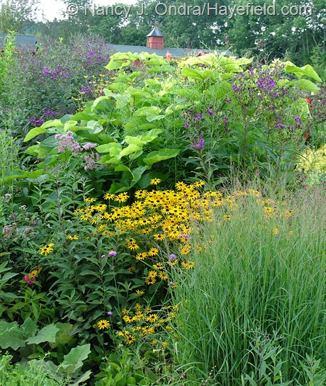 Rudbeckia fulgida behind 'Rotstrahlbusch' switch grass (Panicum virgatum) and in front of golden catalpa (Catalpa bignonioides 'Aurea') and giant ironweed (Vernonia gigantea) at Hayefield