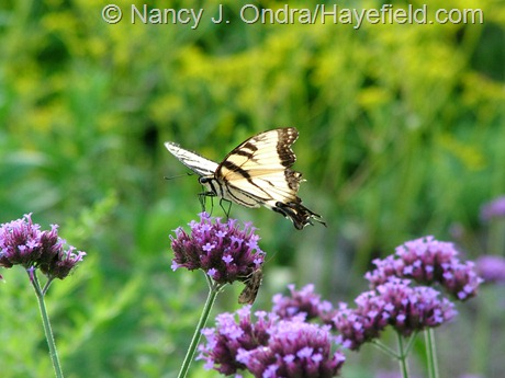 Eastern tiger swallowtail on Verbena bonariensis at Hayefield