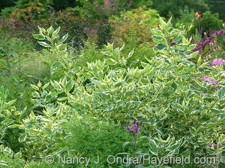 Cornus sericea 'Silver and Gold' at Hayefield
