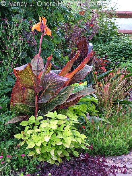 Canna 'Phaison' (Tropicanna) with Coleus 'Lifelime' at Hayefield