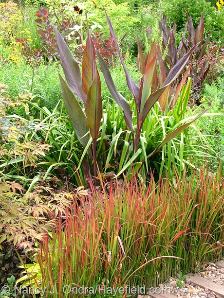 Canna 'Intrigue' with Imperata cylindrica 'Rubra' at Hayefield