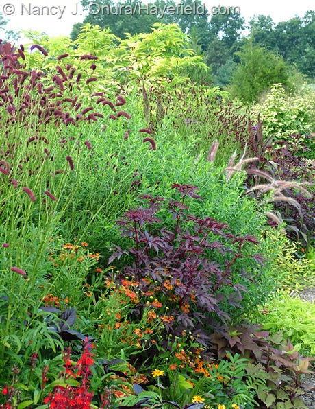 'Mahogany Splendor' hibiscus (Hibiscus acetosella) and Japanese burnet (Sanguisorba tenuifolia) with Helenium 'Coppelia' at Hayefield