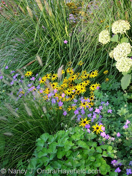 Rudbeckia fulgida, Pennisetum alopecuroides 'Little Bunny' and 'Hameln', 'Anabelle' smooth hydrangea (Hydrangea arborescens), blue-purple Geranium wlassovianum, and light green columbine (Aquilegia) at Hayefield