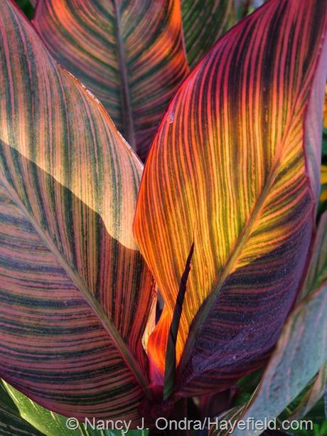 Tropicanna canna (Canna 'Phaison') leaves