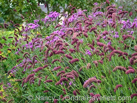 Japanese burnet (Sanguisorba tenuifolia) against giant ironweed (Vernonia gigantea) at Hayefield