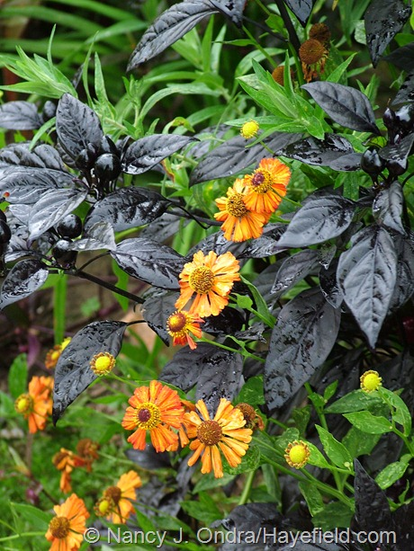 Helenium 'Coppelia' with Capsicum annuum 'Black Pearl' at Hayefield