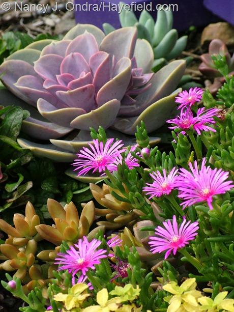 Ice plant (Delosperma cooperi) with orangey Sedum nussbaumerianum and pink Echeveria 'Perle von Nurnberg' at Hayefield