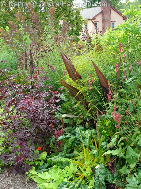 'Intrigue' canna, 'Fireworks' goldenrod (Solidago rugosa), 'Taurus' mountain fleeceflower (Persicaria amplexicaulis), 'Bright Lights' Swiss chard, 'Sweet Caroline Light Green' sweet potato vine (Ipomoea batatas), 'Mahogany Splendor' hibiscus (Hibiscus acetosella), Japanese burnet (Sanguisorba tenuifolia), and 'Grace' smokebush (Cotinus) at Hayefield