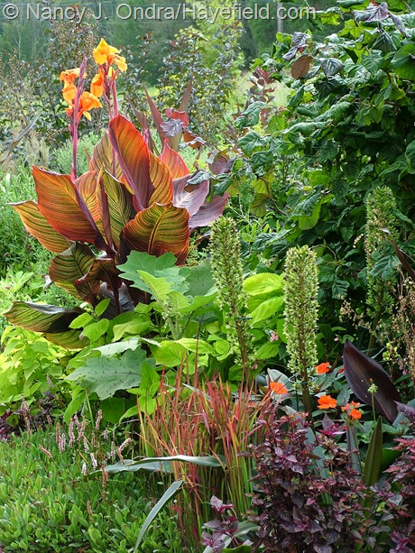 Tropicanna canna (Canna 'Phaison'), 'Red Majestic' contorted hazel (Corylus avellana), 'Oakhurst' pineapple lily (Eucomis comosa), New Guinea impatiens, 'Red Splash Select' polka-dot plant (Hypoestes phyllostachya), Japanese blood grass (Imperata cylindrica 'Rubra'), dwarf fleeceflower (Persicaria affinis), bed-of-nails (Solanum quitoense), and 'Exhibition Giant Lime' coleus at Hayefield