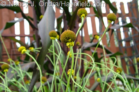 Helenium puberulum 'Autumn Lollipop' at Hayefield