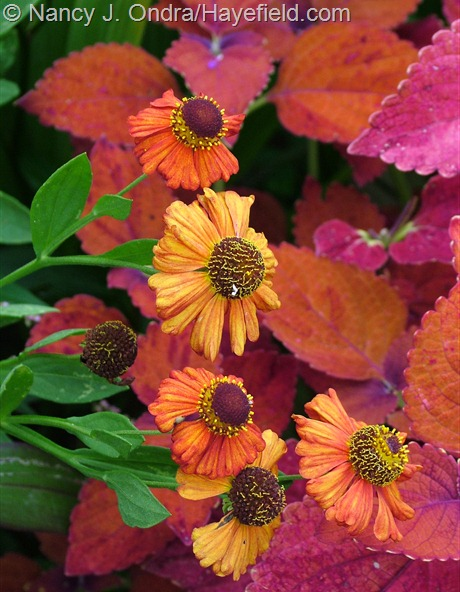Helenium 'Coppelia' with Coleus 'Sedona' at Hayefield