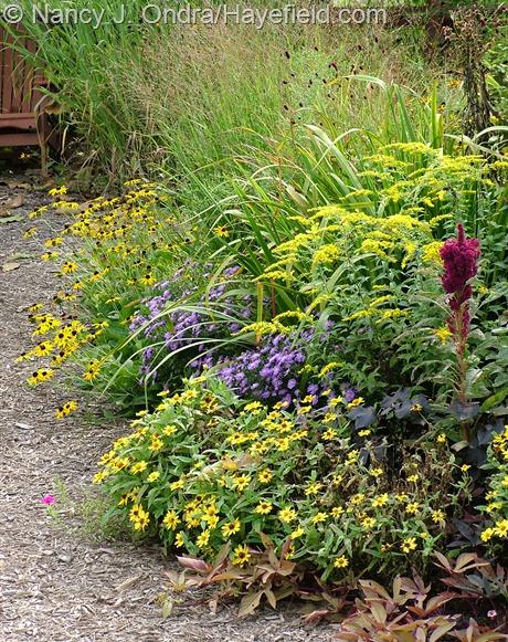 'Elephant Head' amaranth (Amaranthus), 'Profusion Yellow' zinnia, 'Sweet Caroline Bronze' sweet potato vine (Ipomoea batatas), 'Sapphire' aster (Symphyotrichum dumosum), orange coneflower (Rudbeckia fulgida var. fulgida), 'Rotstrahlbusch' switch grass (Panicum virgatum), and 'Gerald Darby' iris (Iris x robusta) at Hayefield