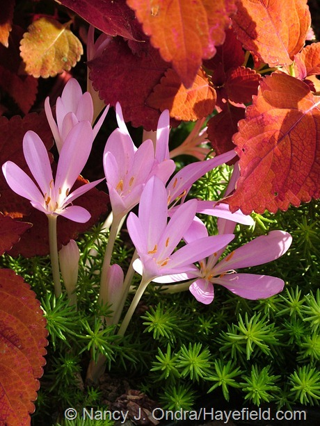 Colchicum autumnale with 'Sedona' coleus and 'Angelina' sedum (Sedum rupestre) at Hayefield