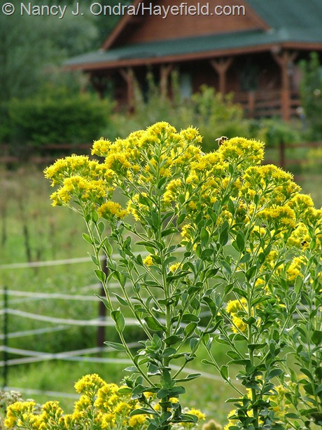 Solidago rigida (Oligoneuron rigidum) at Hayefield
