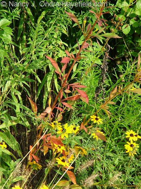 Patrinia scabiosifolia fall color at Hayefield