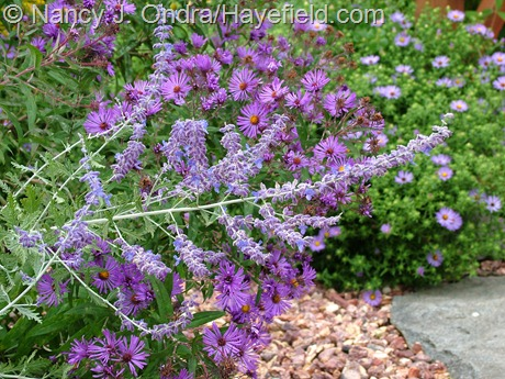 'Longin' Russian sage (Perovskia) with New England and aromatic asters (Symphyotrichum novae-angliae and S. oblongifolium) at Hayefield