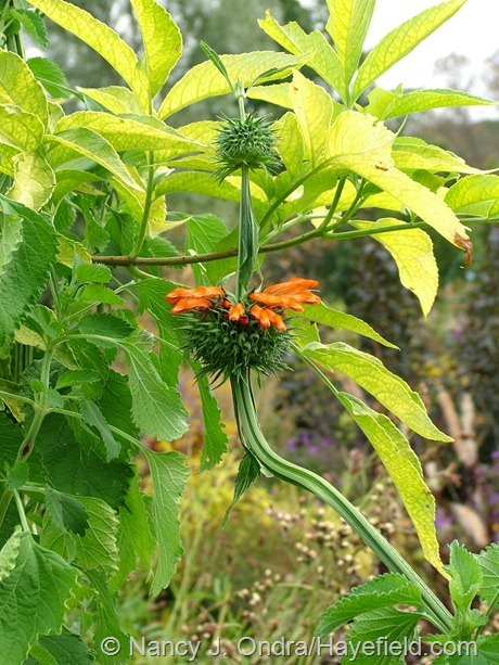 'Staircase' lion's ear (Leonotis nepetifolia) with golden elderberry (Sambucus nigra 'Aurea') at Hayefield