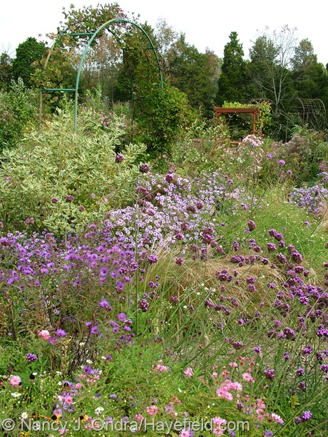 Clematis arch with Cornus sericea 'Silver and Gold', Symphyotrichum, and Verbena bonariensis at Hayefield