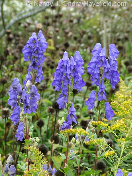 Aconitum carmichaelii with Solidago canadensis and Echinacea purpurea seedheads at Hayefield