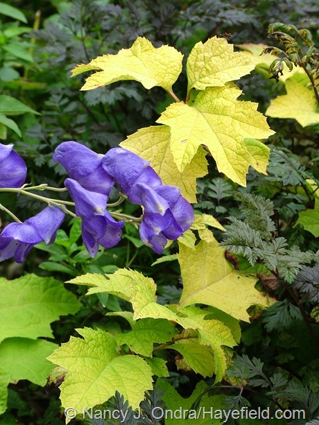 Azure monkshood (Aconitum carmichaelii) with 'Little Honey' oakleaf hydrangea (Hydrangea quercifolia) and 'Ravenswing' cow parsley (Anthriscus sylvestris) at Hayefield