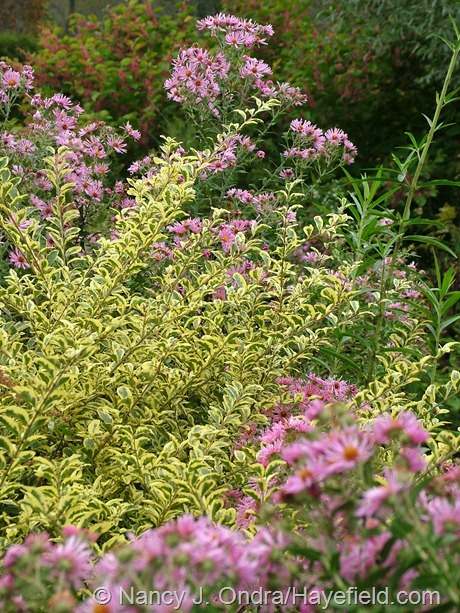 'Swift Creek' Chinese privet (Ligustrum sinense) with 'Harrington's Pink' New England aster (Symphyotrichum novae-angliae) at Hayefield