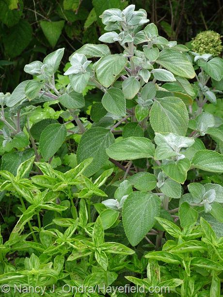 Silver spurflower (Plectranthus argenteus) with sweet basil (Ocimum basilicum) at Hayefield