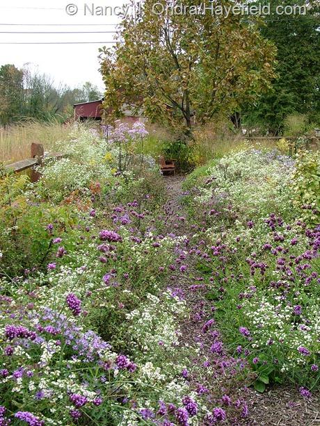 Aster path at Hayefield