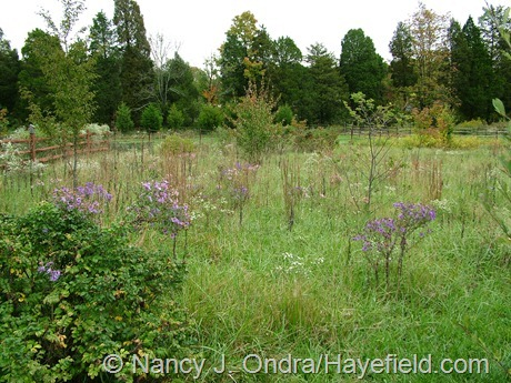 New England asters (Symphyotrichum novae-angliae) in the meadow at Hayefield