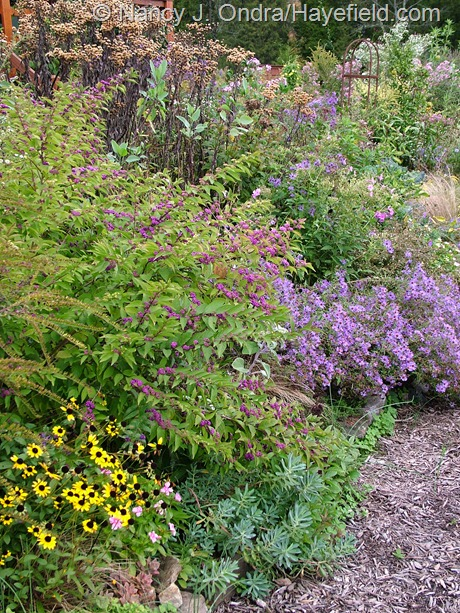 'Issai' purple beautyberry (Callicarpa dichotoma) with orange coneflowers (Rudbeckia), Euphorbia nicaeensis foliage, aromatic aster (Symphyotrichum oblongifolium), and ironweed (Vernonia) seedheads at Hayefield