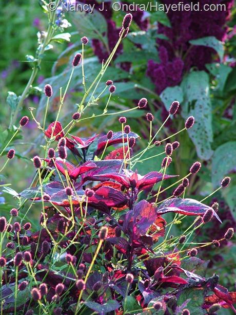 Great burnet (Sanguisorba officinalis) with 'Magilla Purple' perilla (Perilla) at Hayefield