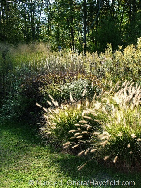 'Cassian' fountain grass (Pennisetum alopecuroides), frost grass (Spodiopogon sibiricus), and 'Cloud Nine' switch grass (Panicum virgatum) at Hayefield