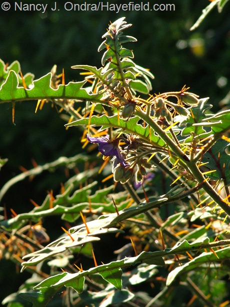 Porcupine tomato (Solanum pyracanthum) at Hayefield