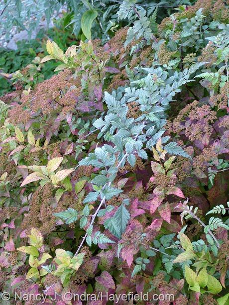 Dakota Goldcharm spirea (Spiraea japonica 'Mertyann') with ghost bramble (Rubus thibetanus) at Hayefield