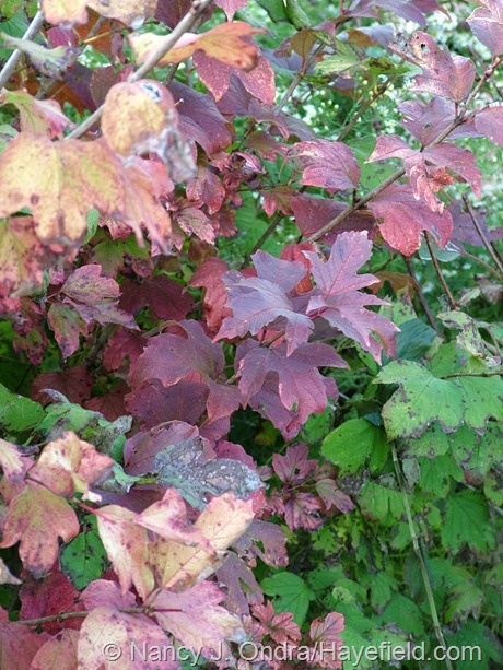 Viburnum opulus 'Aureum' fall color at Hayefield