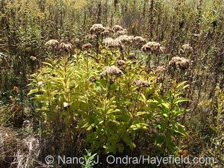 Eutrochium maculatum fall color at Hayefield