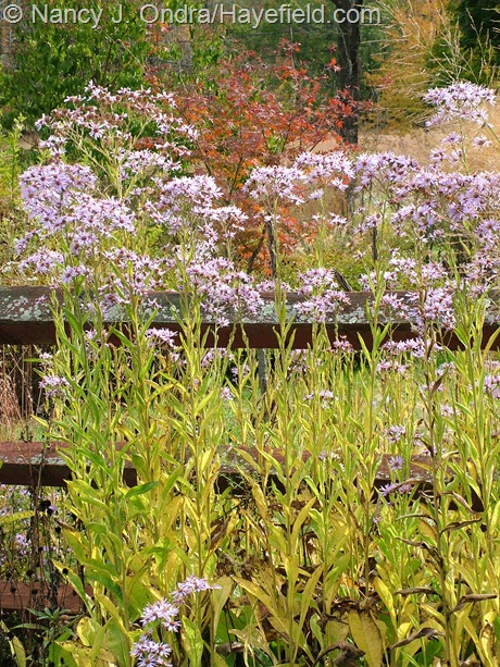 Aster tataricus in flower and fall color at Hayefield
