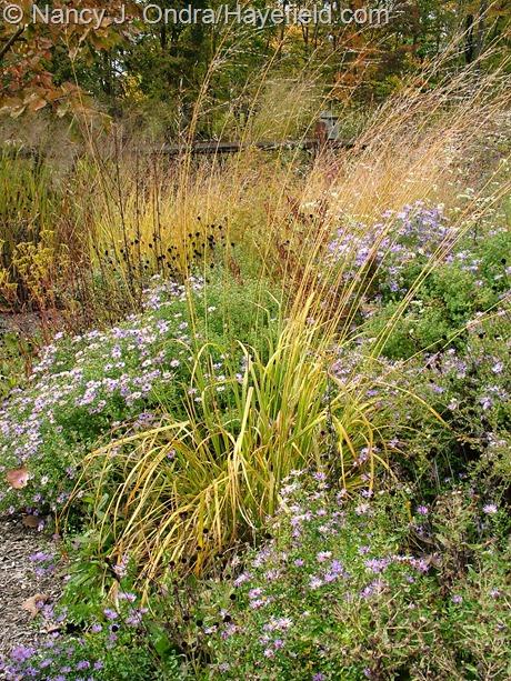 Molinia caerulea subsp. arundinacea 'Transparent' fall color at Hayefield