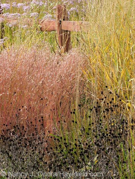 'The Blues' little bluestem (Schizachyrium scoparium) with 'Dewey Blue' bitter switch grass (Panicum amarum) and the seedheads of orange coneflower (Rudbeckia fulgida var. fulgida) at Hayefield