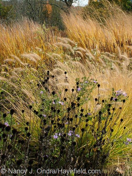 Rudbeckia fulgida var. fulgida, Symphyotrichum oblongifolium, Pennisetum alopecuroides 'Cassian', Panicum virgatum 'Northwind' in Long Border at Hayefield