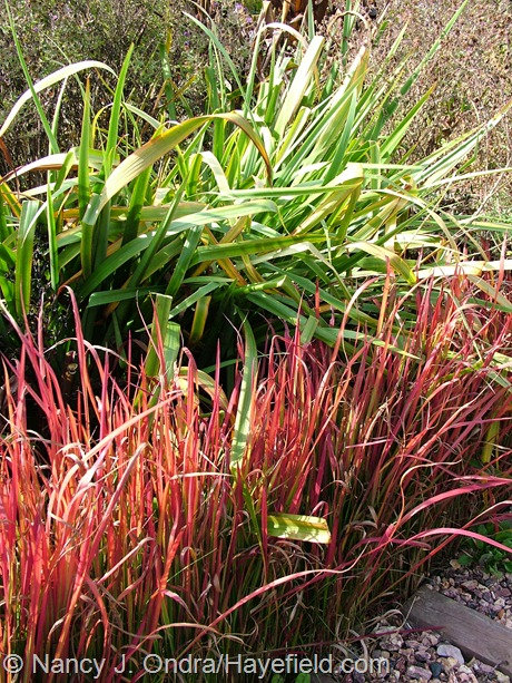 Imperata cylindrica 'Rubra' fall color at Hayefield