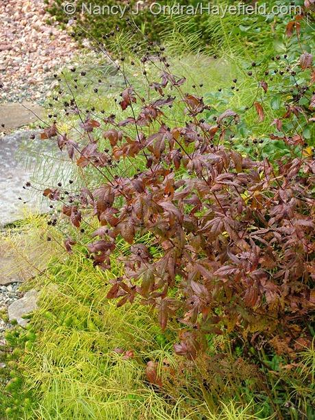 Porteranthus stipulatus fall color at Hayefield