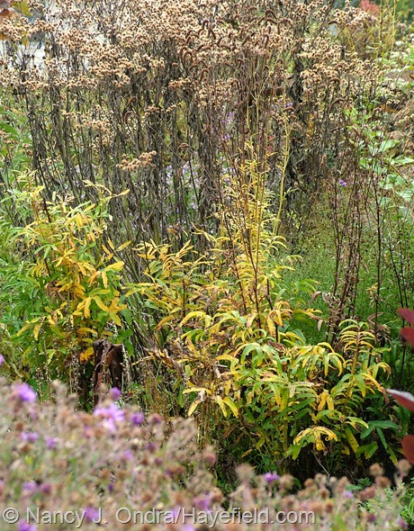 Sanguisorba tenuifolia fall color at Hayefield