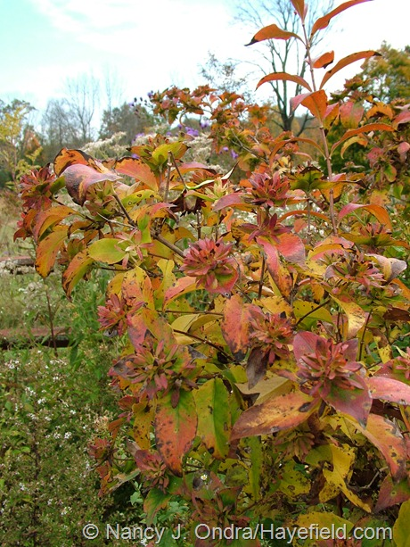 Abelia mosanensis fall color at Hayefield