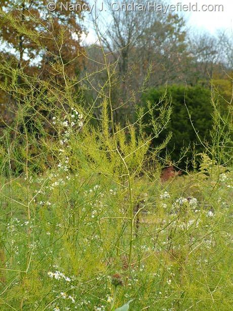 Asparagus officinalis fall color at Hayefield