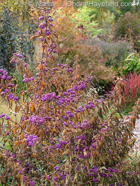 Callicarpa dichotoma 'Issai' at Hayefield