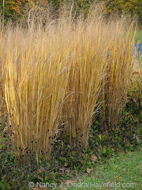 Panicum virgatum 'Northwind' fall color at Hayefield