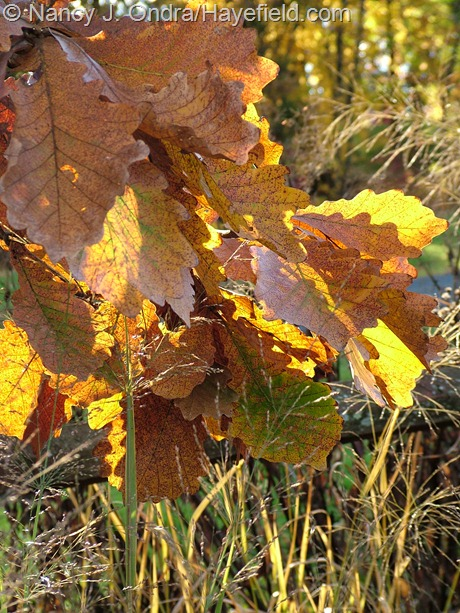 Quercus dentata fall color at Hayefield