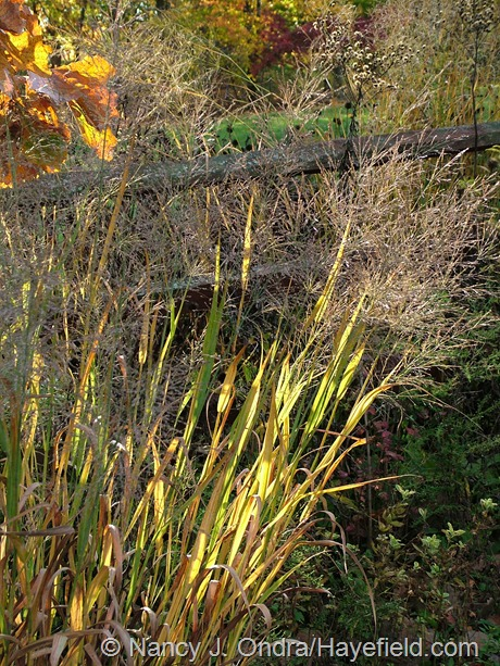 Panicum virgatum 'Dallas Blues' fall color at Hayefield