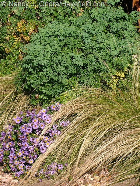 Aromatic aster (Symphyotrichum oblongifolium) with Mexican feather grass (Stipa tenuissima) and 'Harlequin' rue (Ruta graveolens) at Hayefield